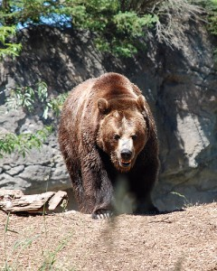 Angry Bear - Photo by Lara Schneider