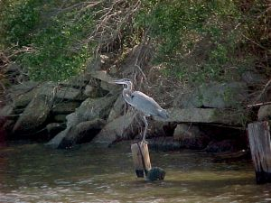 "One of Louisiana's ""lucky"" blue herons"