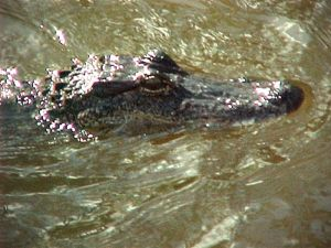One of Louisiana's iconic residents, the local gator