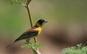 The black-headed bunting, one of about 2,000 bird species in North America