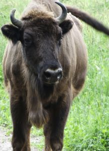 This buffalo is ready for his close-up